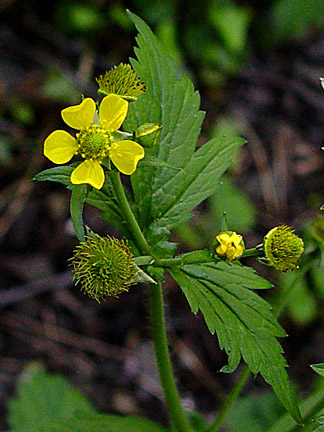 Herb Bennet Or Wood Avens