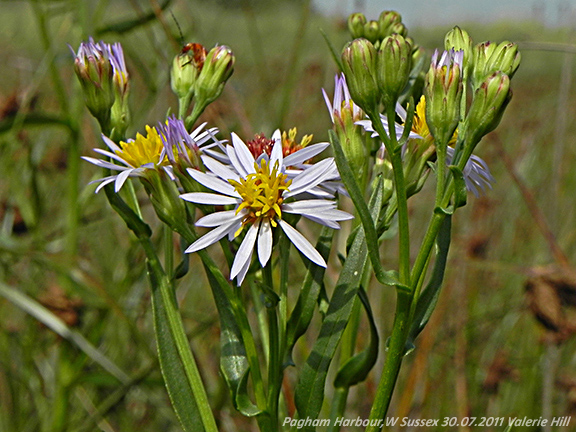 Sea Aster Will Smith